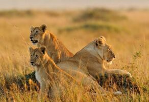 lions-on-safari-in-masai-mara-kenya.jpg